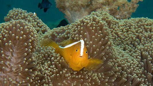 Les poissons-clowns pris sur le fait