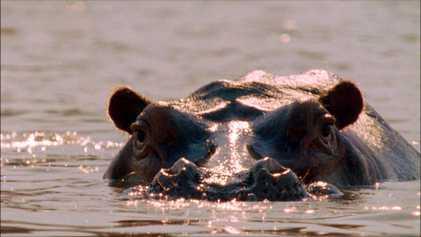 Journée internationale des hippopotames