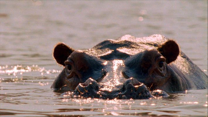 L'accouplement agressif des hippopotames en images
