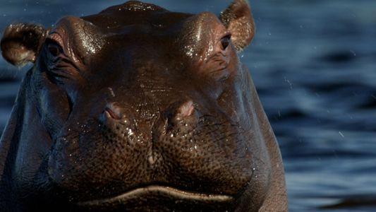 Les hippopotames, outils de terrassement naturels