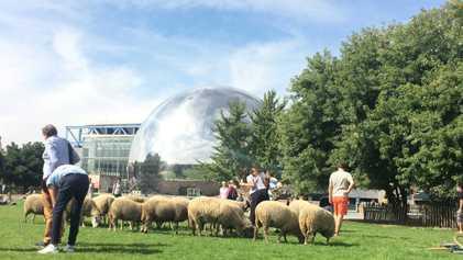 Des moutons au cœur des villes