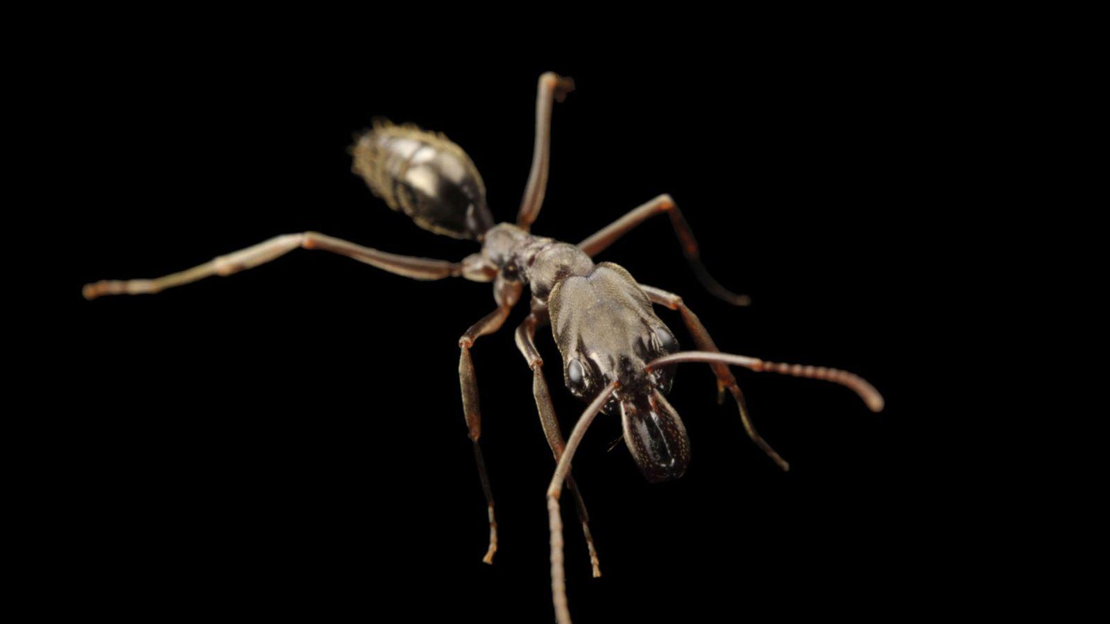 Cette fourmi du genre Odontomachus, photographiée avec les mandibules fermées, chasse sa proie en les maintenant ...