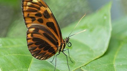 Une espèce de papillon survit grâce à un gène vieux de 2 millions d'années
