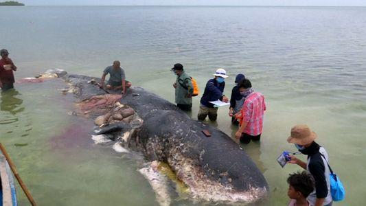 Un cachalot retrouvé mort avec 6 kilos de plastique dans son estomac