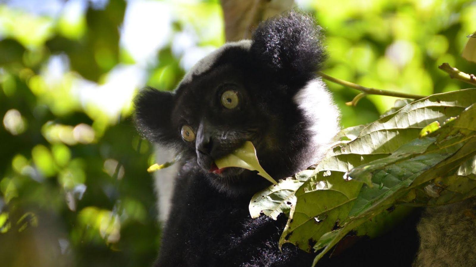 Un lémurien Indri indri photographié dans le parc national de Mantadia, à Madagascar.