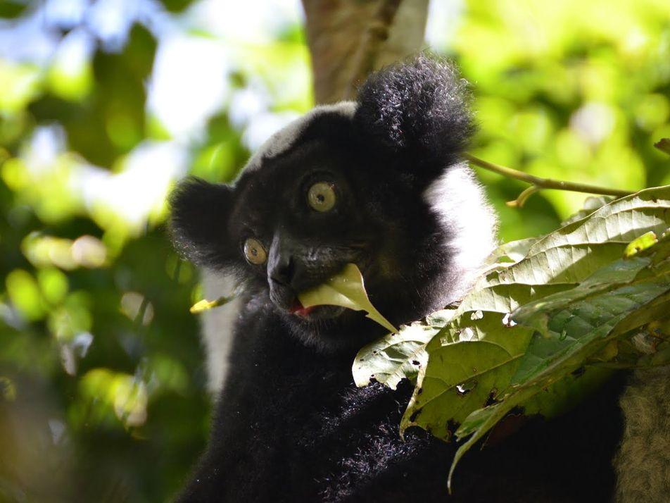L'huile de palme menace les primates d'Afrique