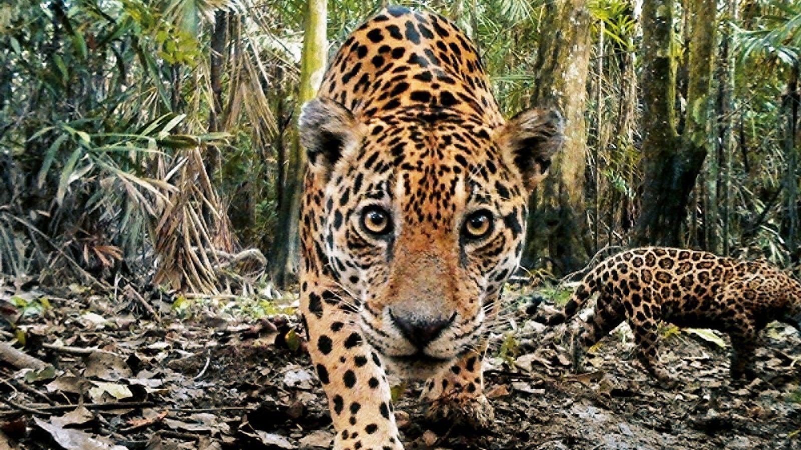 Les jaguars sillonnaient autrefois près de neuf millions de kilomètres carrés, s'étendant des montagnes du sud ...