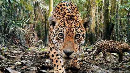 Comment sauver les jaguars ? En convainquant leurs ennemis