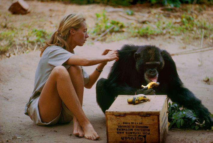 Parc national de Gombe Stream, en Tanzanie - David Greybeard a été le premier chimpanzé à ...
