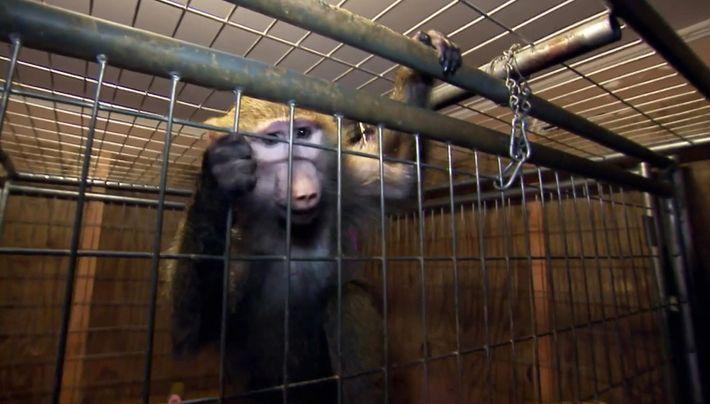 Jaycee la babouine et sa mére Kathy