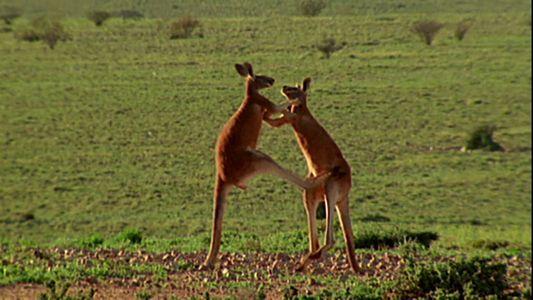 Impressionnant combat de kangourous mâles