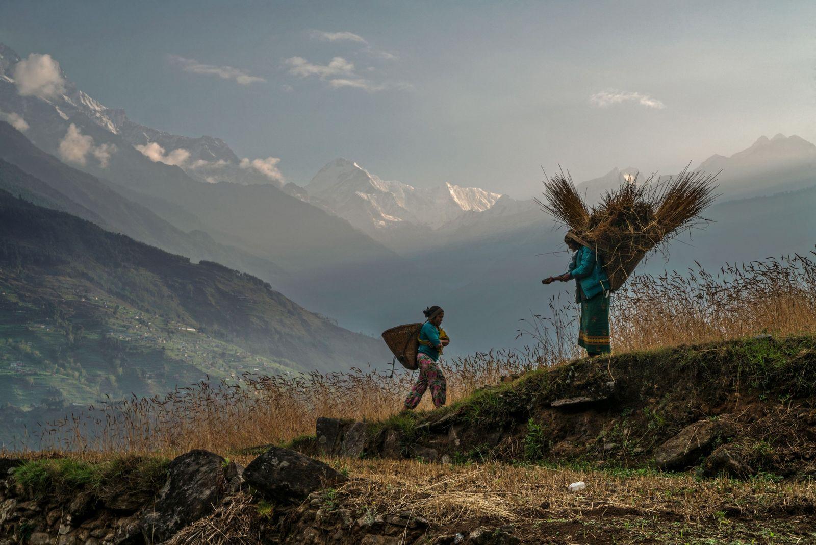 Les femmes portent le blé récolté dans les champs situés au-dessus du village de Saddi, dans ...