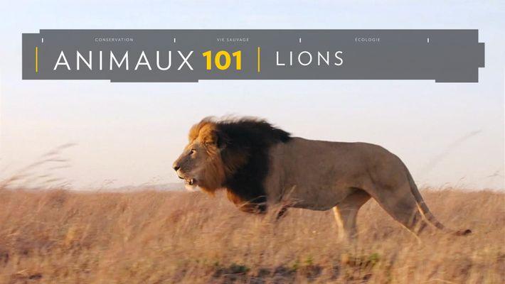 Comprendre : les lions