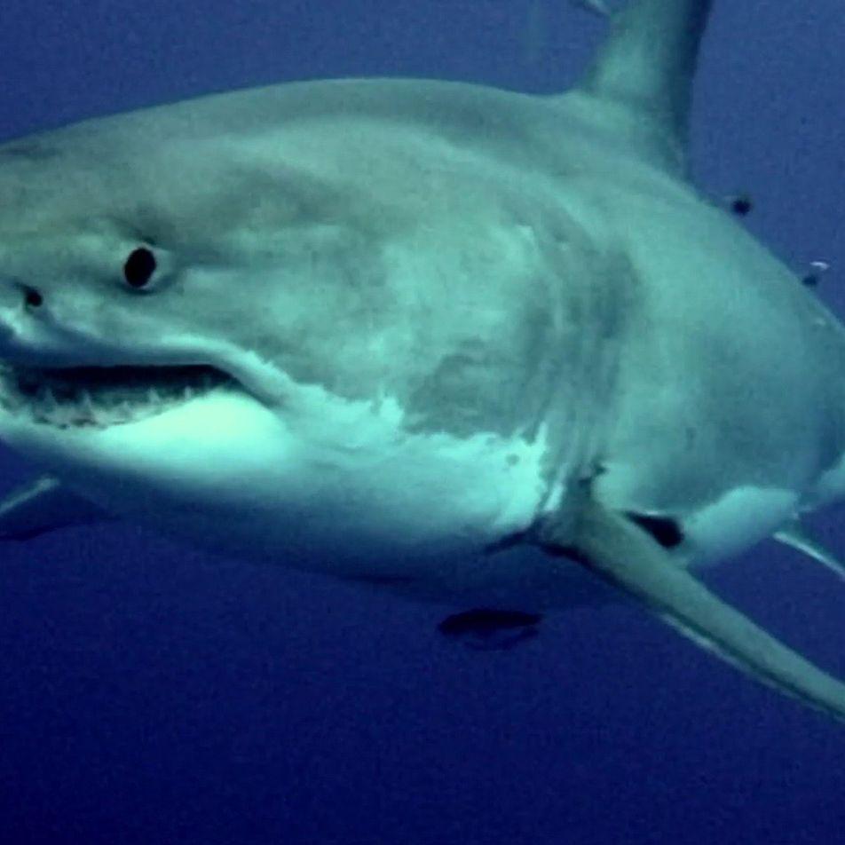 Le sixième sens du requin