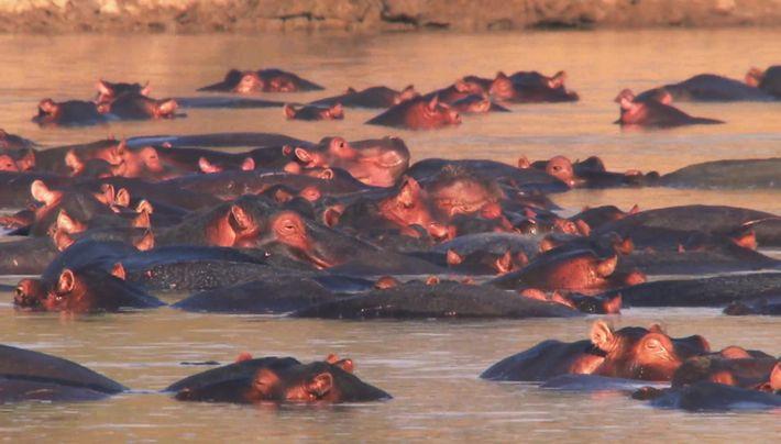 La bataille des hippos