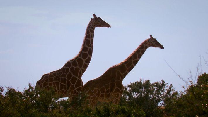 La Girafe Long cou, petit coup