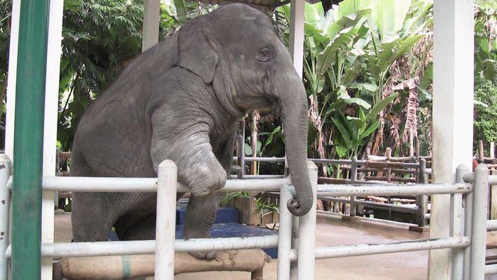 Un prothèse de jambe pour éléphant