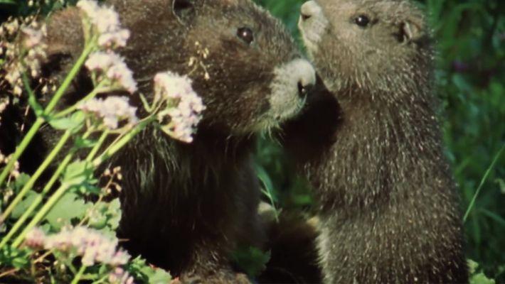 La marmotte de l'île de Vancouver