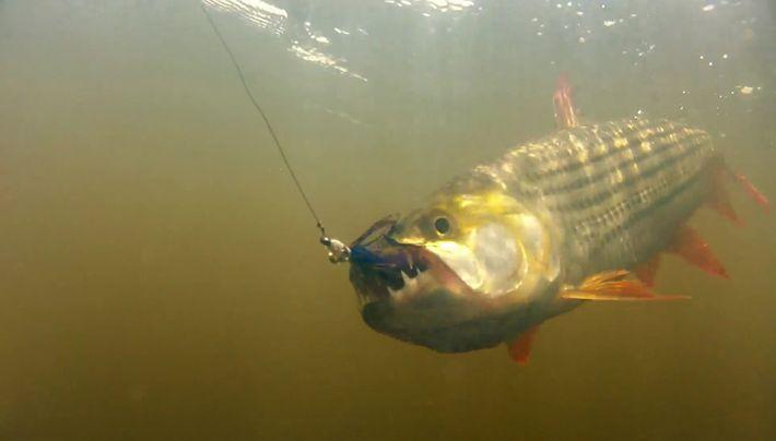 La pêche au poisson tigre