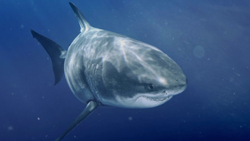 Le plus grand requin blanc du monde (en images)