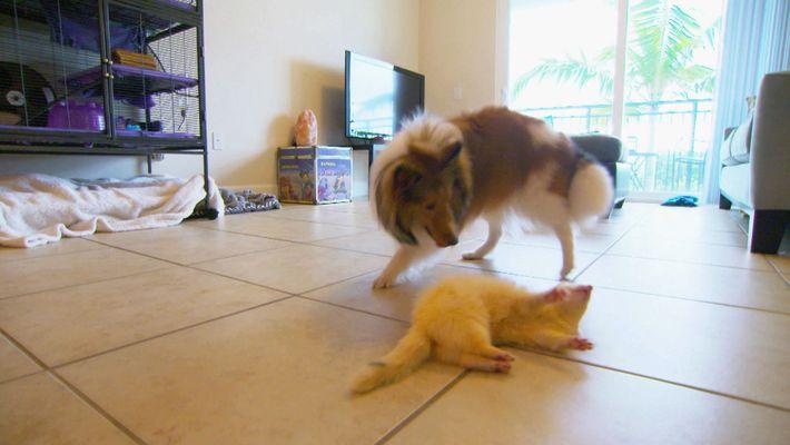Une amitié entre un chien et un furet