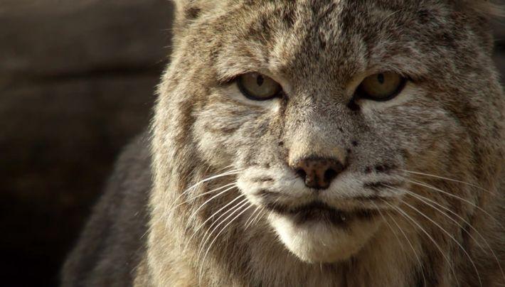 Le lynx, un chasseur hors pair