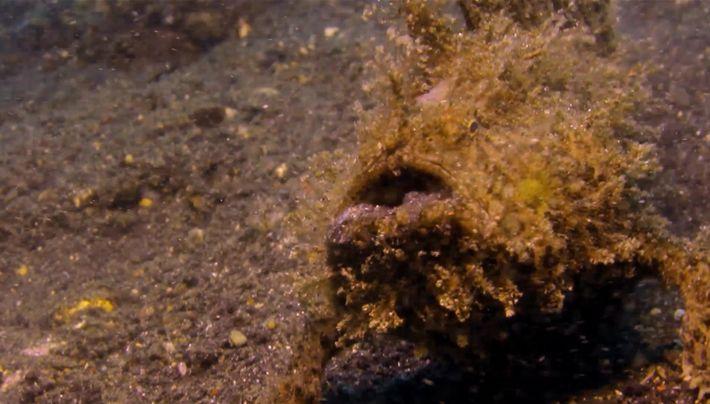 Le poisson-grenouille strié