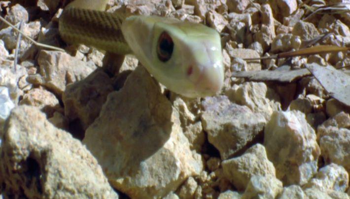 Le serpent né pour chasser