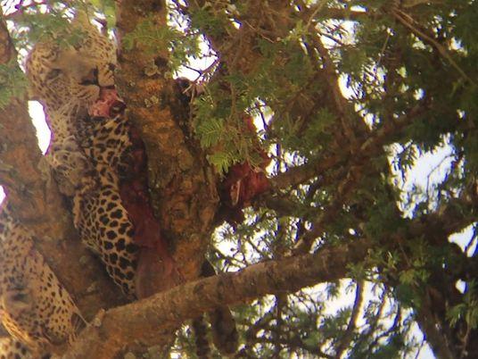 Rare : un léopard dévore l'un de ses congénères