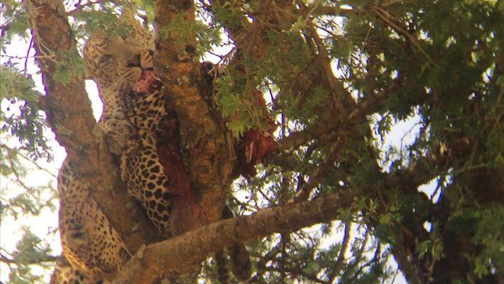 Images rares : un léopard dévore l'un de ses congénères