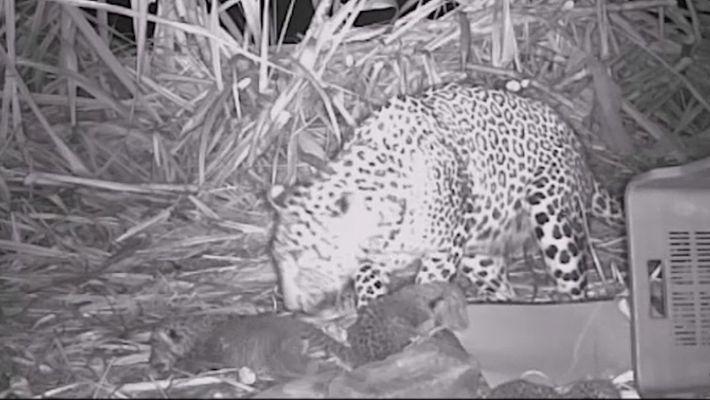 Des léopards retrouve leur mère dans une vidéo touchante