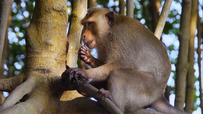 Les macaques crabier