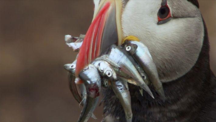 Les oiseaux pilleurs de nourritures
