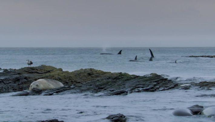 Les orques des îles Malouines