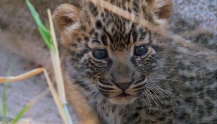 Les premiers jours de Manana, le bébé léopard