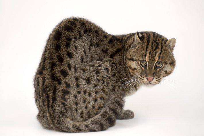 PRIONAILURUS VIVERRINUS Le chat viverrin peut sembler particulier, mais il est parfaitement adapté à son mode ...