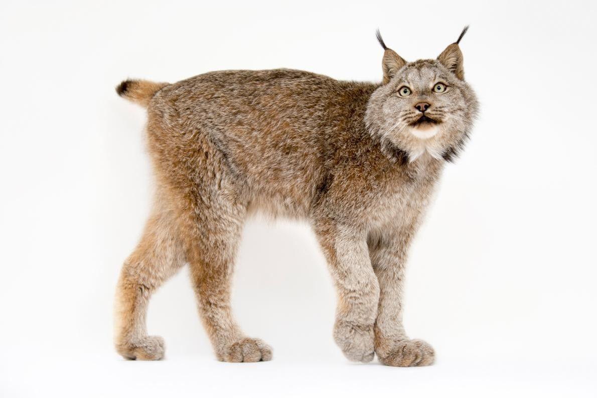 LYNX CANADENSIS À l'instar du lynx ibérique, le lynx du Canada est un prédateur qui se ...