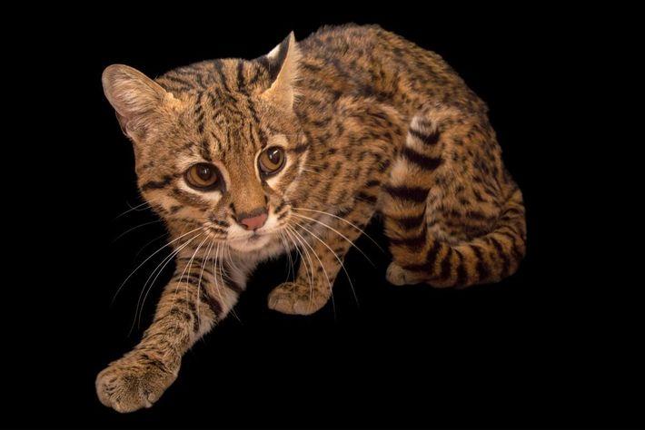 LEOPARDUS GEOFFROYI Le chat de Geoffroy est une espèce de félins dont l'aire de répartition s'étend ...