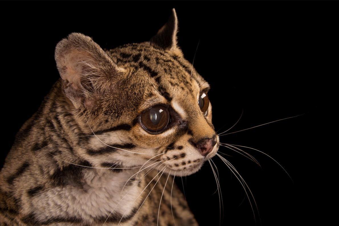 LEOPARDUS WIEDII Le margay, dit aussi chat-tigre, chat sauvage de la Nouvelle Espagne, est un petit ...