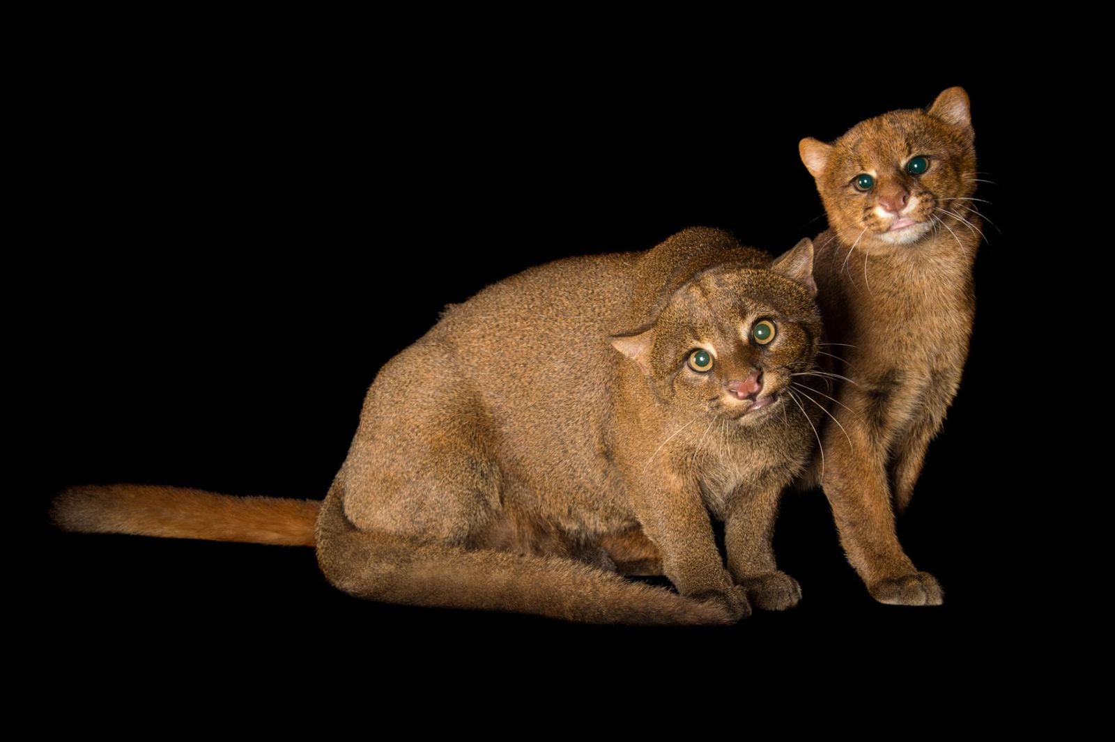 HERPAILURUS YAGOUAROUNDI Avec leur corps long et trapus et des oreilles minuscules, les jaguarundis ont l'apparence ...