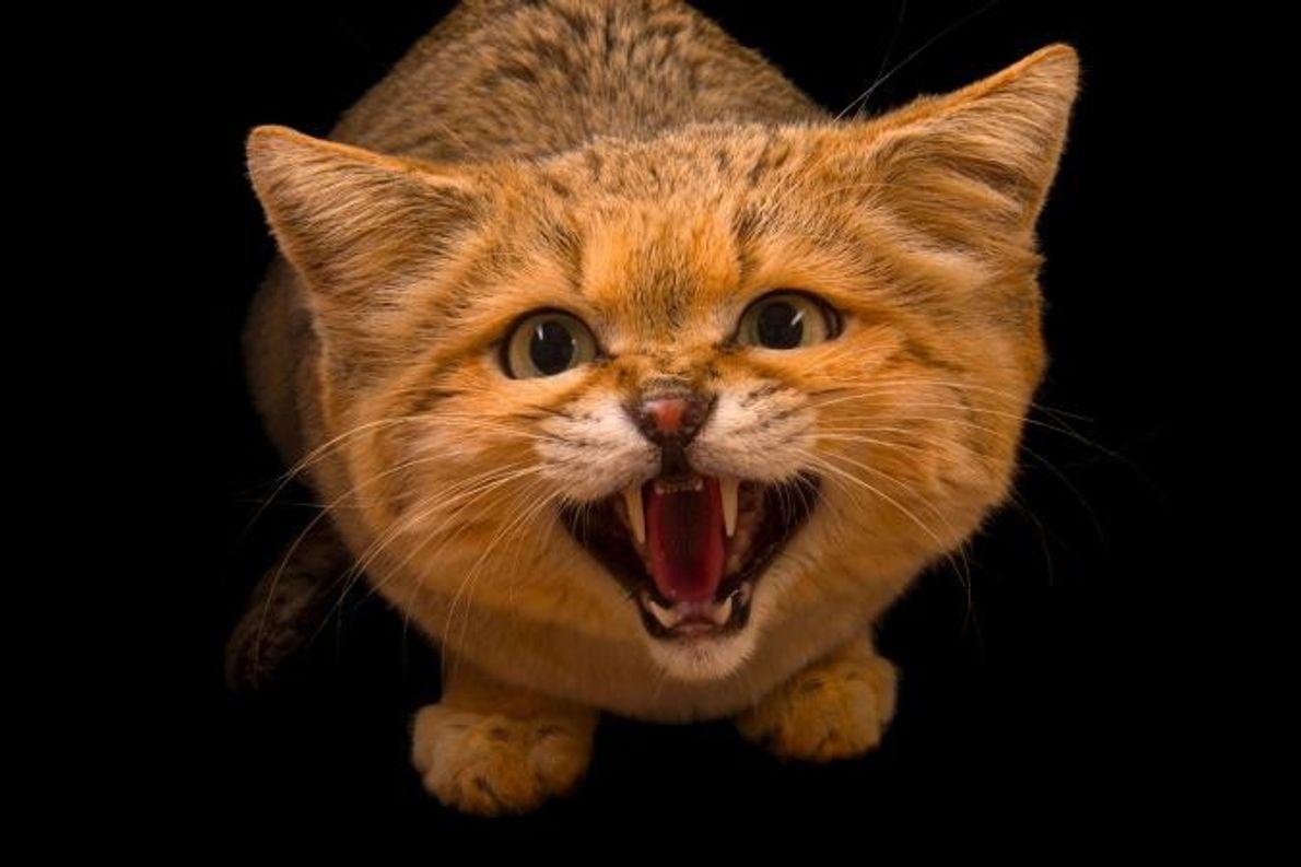 Un chat des sables, Felis Margarita.