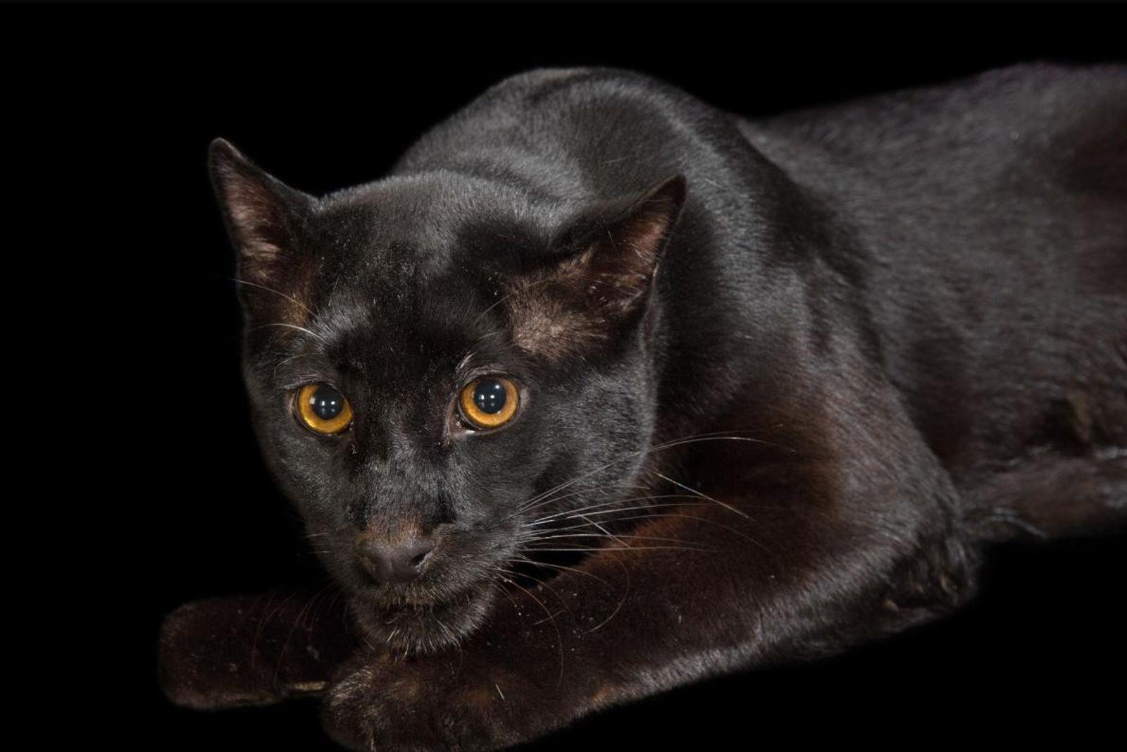 Ce Chat de Temminck noir ou chat doré d'Asie est un félin de taille moyenne du ...