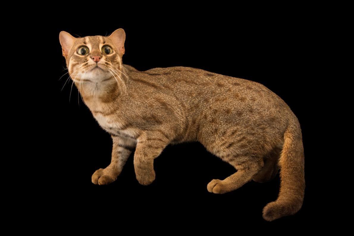 PRIONAILURUS RUBIGINOSUS Le plus petit des petits chats, le chat rubigineux, originaire de l'Inde et du ...