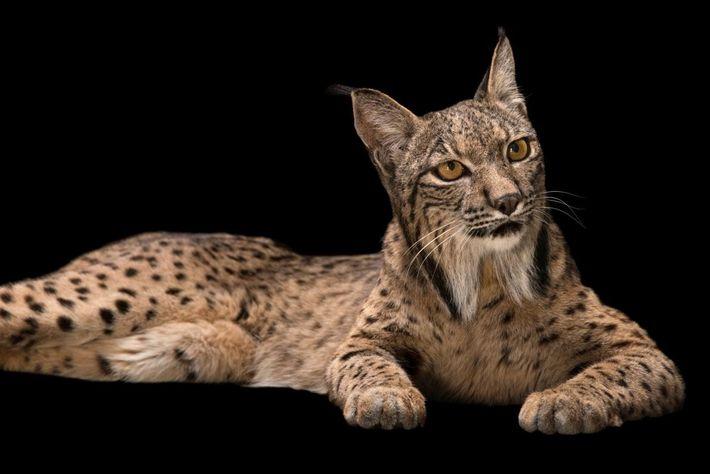 C'est l'un des félins les plus rares de la planète. La population de lynx pardelle (ou ...