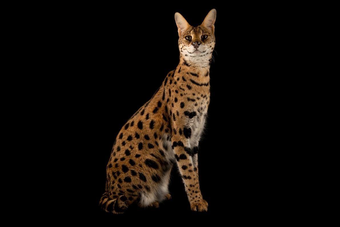 LEPTAILURUS SERVAL Le serval est un félin de la sous-famille des félinés et la seule espèce ...