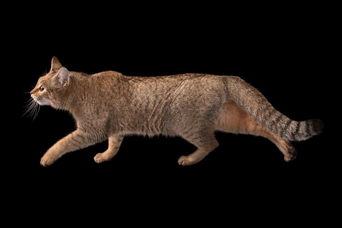 FELIS SILVESTRIS LYBICA Le Chat sauvage d'Afrique ou Chat ganté est une sous-espèce du Chat sauvage ...