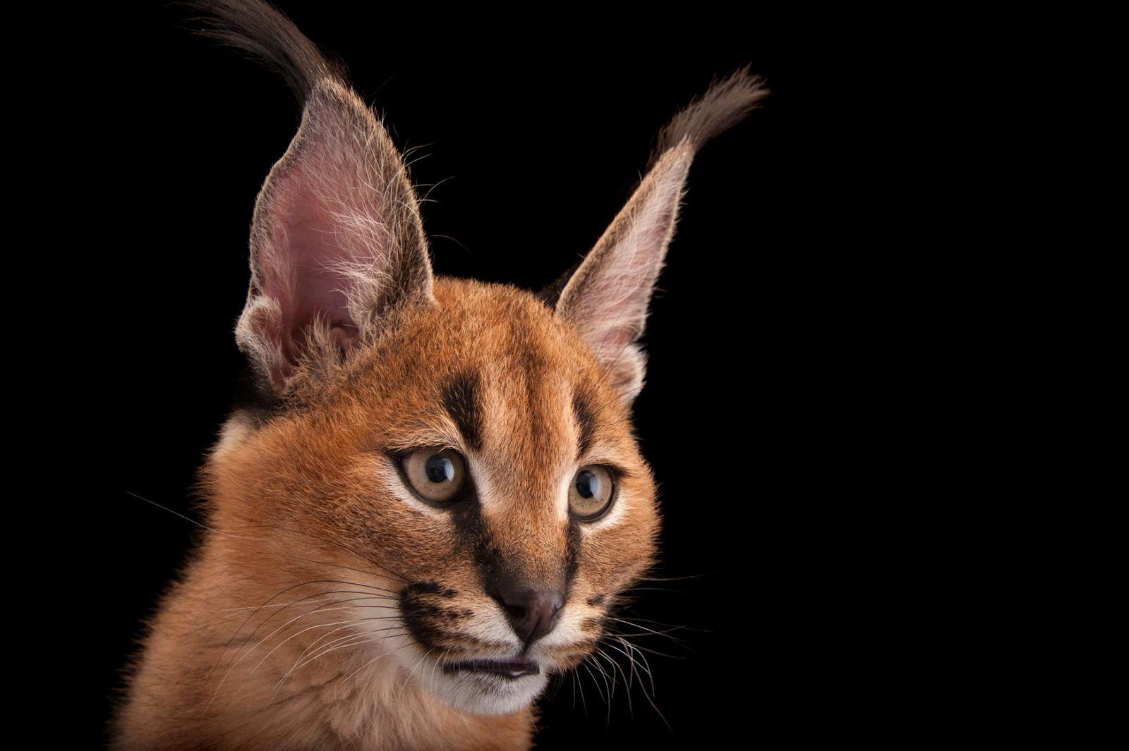 Le caracal (ou lynx du désert) d'Asie et d'Afrique mesure environ 50 cm de haut, mais ...