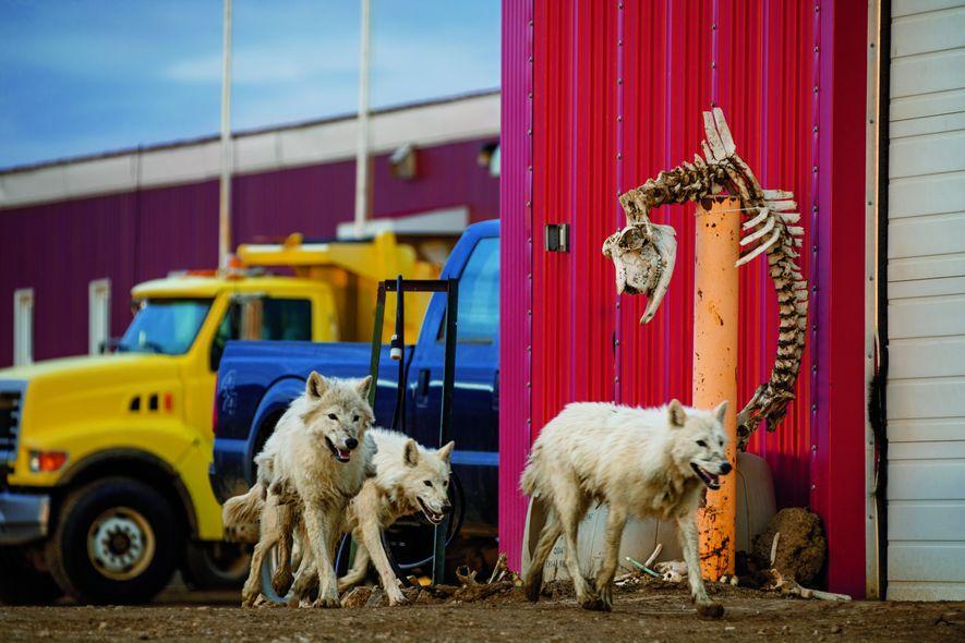 Dans un avant-poste militaire, où le personnel a suspendu un squelette de bœuf musqué, la meute va chasser le lièvre arctique sur les terrains herbeux entourant lapiste d'atterrissage.