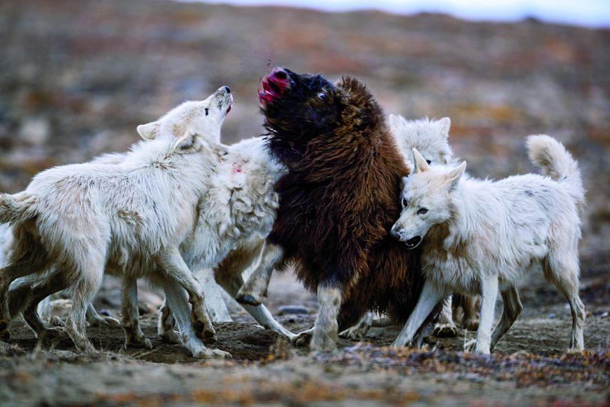Ce jeune bœuf musqué a résisté aux loups pendant vingt minutes, avant de s'effondrer. Tandis que l'un tente demordre et de maintenir le museau de l'herbivore, les autres loups l'attaquent par derrière. C'est ainsi que les jeunes de 1an apprennent à tuer : ils assaillent le plus souvent des animaux jeunes, âgés ou malades.