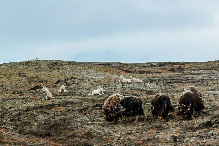 La meute a trois bœufs musqués mâles en ligne de mire. Pour tuer l'un de ces animaux (pouvant atteindre 300 kg), les loups doivent coopérer. Le bœuf musqué est l'une des rares proies àserassembler en formation défensive. Latechnique des loups: profiter d'une occasion pour isoler un individu de la protection du troupeau. Ce jour-là, lesbœufs ont déjoué lamenace.
